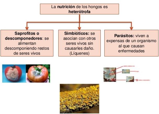 ¿Cuál es el tipo de nutrición del reino fungi?