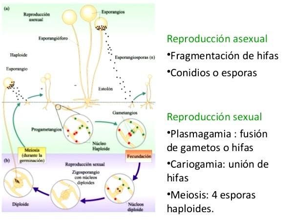 ¿Cómo se reproduce el reino fungi?