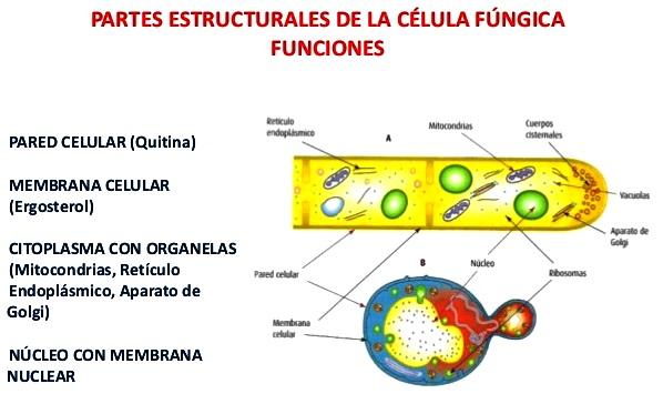 ¿Cuál es el tipo de célula del reino fungi?