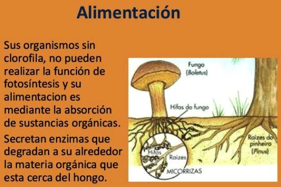 ¿Cómo se alimenta el reino fungi?