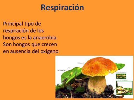 Respiración del reino fungi